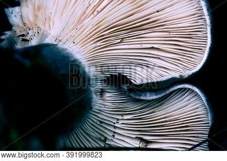 Close Up Of White Gills Underneath Mushroom