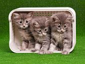 Cute gray kittens in box on artificial green grass poster