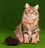 Beautiful adult cat on artificial green grass poster