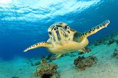 Hawksbill Sea Turtle comes face to face with camera in Eilat, Israel poster