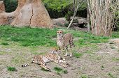 Two cheetahs lying on the grass and staring poster