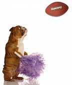 english bulldog with pompoms cheering on football game poster