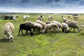 Herd of many sheeps in green countryside under blue sky. poster