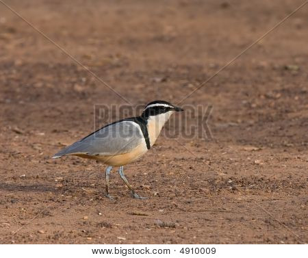 Egyptian Plover At Simenti