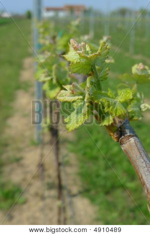 New Vine Leaves