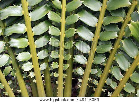 Closeup Of Beautiful Leaves Of Zululand Cycad (encephalartos Ferox)