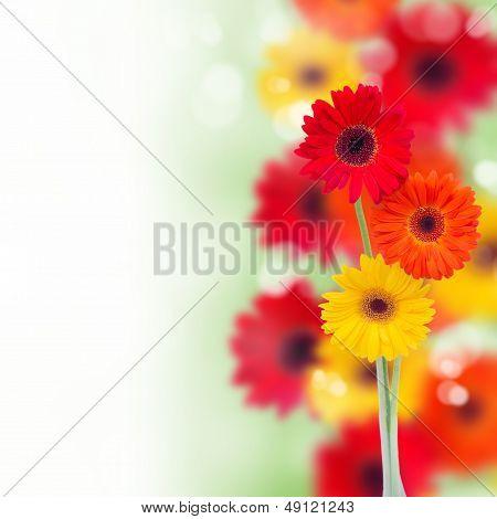 border of garden herbera flowers