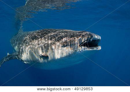 Portrait of a whale shark