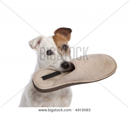 isolated jack russell terrier holding shoe over white background poster