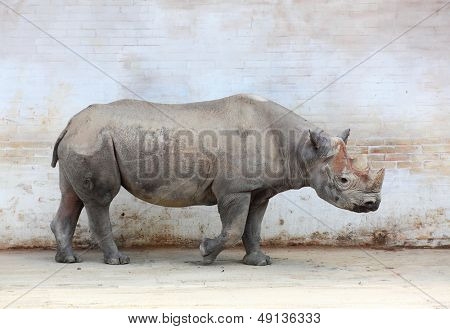 The Black Rhinoceros (Diceros bicornis).