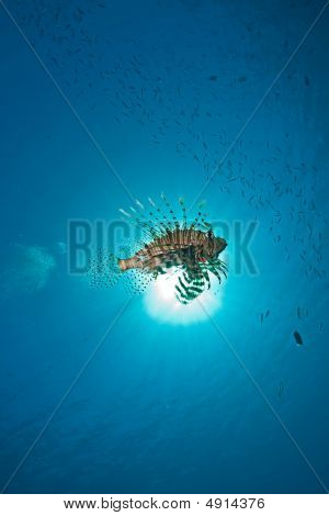 ocean lionfish and sun taken in the red sea. poster