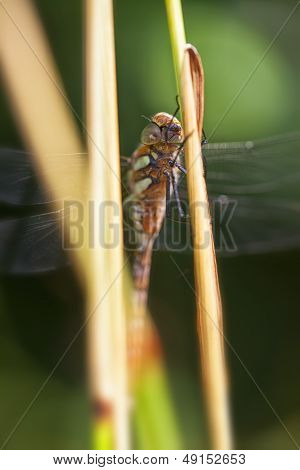Autumn Hawker - Aeshna mixta