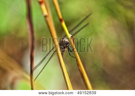 Autumn Hawker - top view