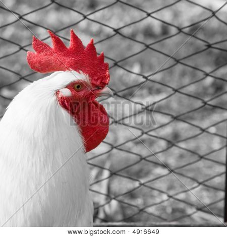 A white rooster with a bright red crest - mixed monochrome and color poster