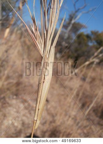 Grass-mimicking Grasshopper on blade of grass