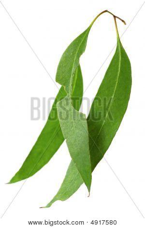 Gum Leaves