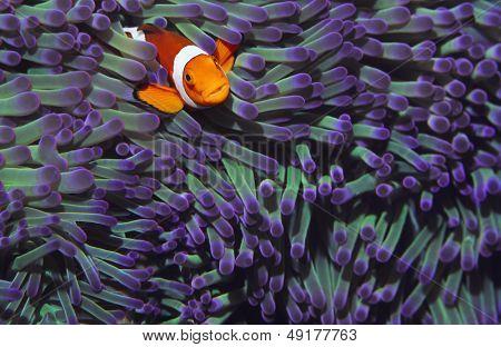 Clown fish hiding among sea anenomies