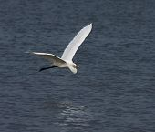 This beautiful Great White Egret (Egretta alba) flew by along the Gambia River at Tendaba. March 2009. poster