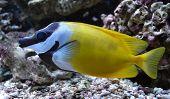 aquarium saltwater fish Pangasius, Fish fox swimming aquarium poster