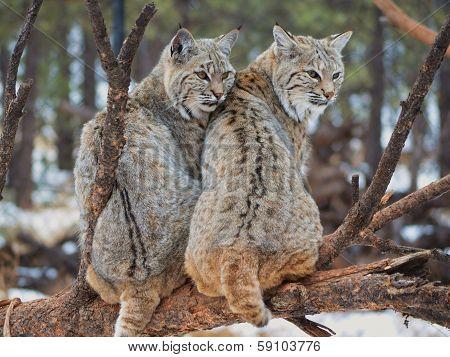 Bobcats on a branch