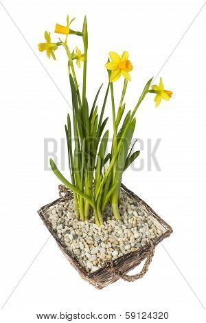 Narcissus In Basket Isolated On White