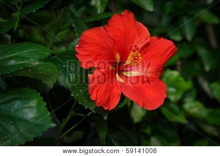 Red Hibiscus Flower In Garden