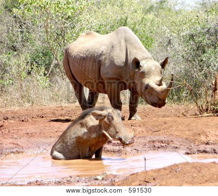 Rhinocerous And Warthog
