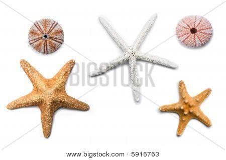 Isolated Starfish