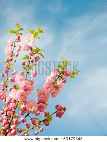 branches with beautiful pink flowers against the blue sky.  Amygdalus triloba