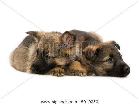two laying German shepherds puppys isolated on white background poster