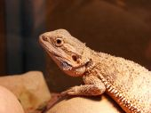 Bearded dragon lizard on the zoo background poster
