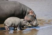 Mother Hippo with her baby in the Mara River, Kenya Africa poster
