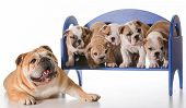 dog family - english bulldog father laying beside litter of puppies sitting on a bench isolated on white background poster