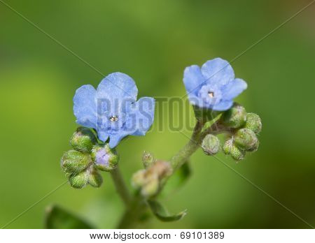 Tiny, delicate flowers of Cynoglossum amabile, Chinese Forget-me-not