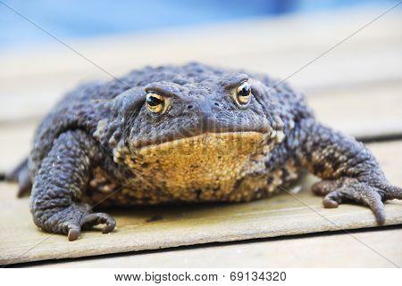 Common (european) Toad - Bufo Bufo