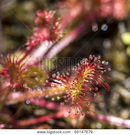 Drocera Anglica Flower Close Up. Sundew Lives On Swamps And It Fishes Insects Sticky Leaves. Life Of