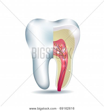 Tooth Anatomy, Part Of The Tooth Is Cross Section, Detailed Anatomy.