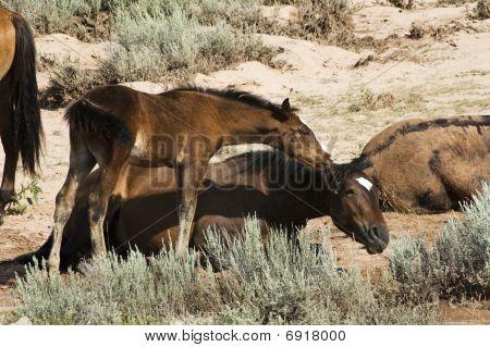 Pryor Mountain Mustangs