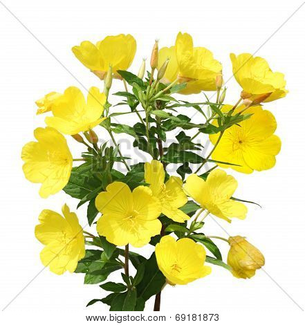 Evening Primrose (Oenothera) flower plant isolated on white background poster