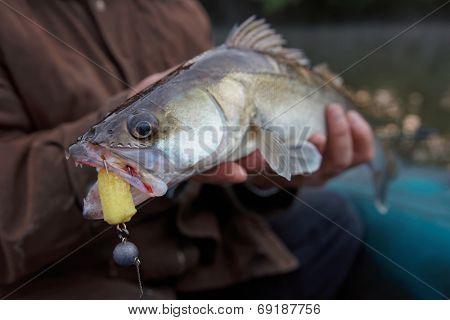 Walleye caught on handmade jig lure in fisherman's hands