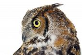 Profile of Great horned owl Bubo virginianus isolated on white poster