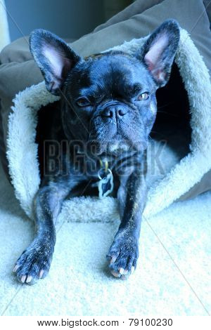 Brindle french bulldog squinting into the camera with her head slightly cocked to the right looking directly into the camera while in her dog bed as the sun shines on her face. poster