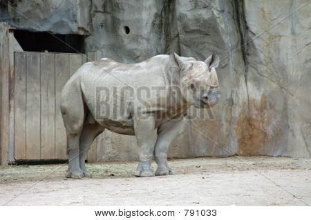Rhino at a local zoo relaxing in his habitat. poster