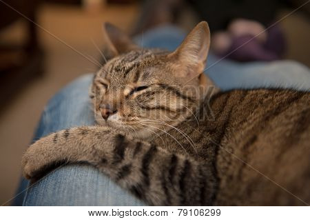 Cat Lounges On Blue Jean Lap
