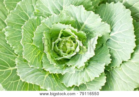 Close Up Of Longlived Cabbage.