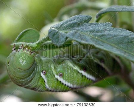 Tomato Plant Pest