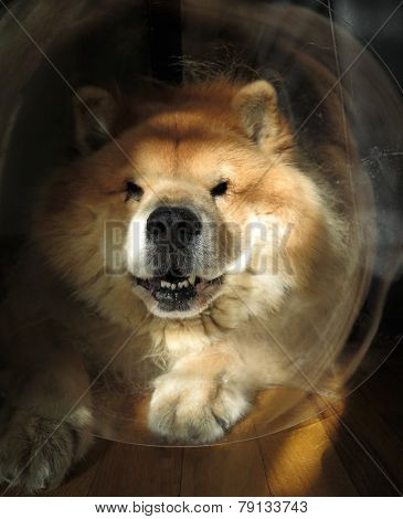 "Chow Chow Dog Wearing Head Cone (""Elizabethan Collar"") After Surgery poster"