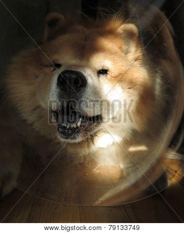 Dog in Cone Collar