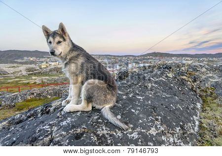 Young Greenland Husky Sitting In Front Of Ilulissat, Greenland