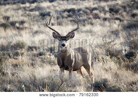Deer in desert
